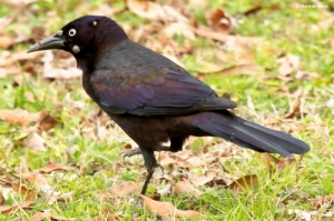 Common grackle 1 ©Maria de Bruyn