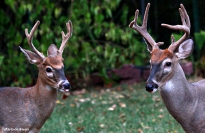 deer antlers IMG_5414©Maria de Bruynsignedres