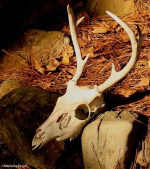 deer skull IMG_1388©Maria de Bruynsignedres