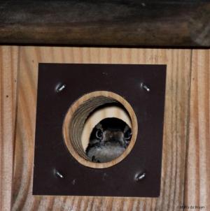 downy woodpecker IMG_0299 MdB