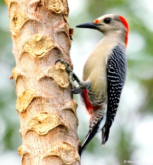 Golden-fronted woodpecker IMG_0357 MdB