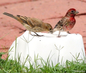 male and female purple finch at salt block IMG_2733© Maria de Bruynsigned res