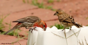 male and female purple finch at salt block IMG_7614©Maria de Bruynsignedres