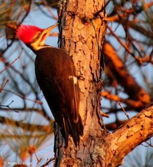 Pileated woodpecker (Dryocopus pileatus) seen in the woods