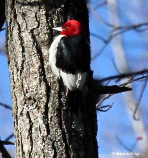Red-headed woodpecker IMG_9884© Maria de Bruyn
