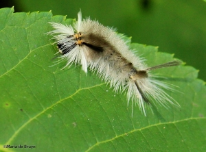 Banded tussock moth IMG_3930©Maria de Bruyn