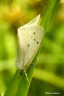 Fall webworm moth Hyphantria IMG_6582 ©Maria de Bruyn signed
