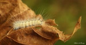 Fall webworm moth IMG_9141©Maria de Bruyn res