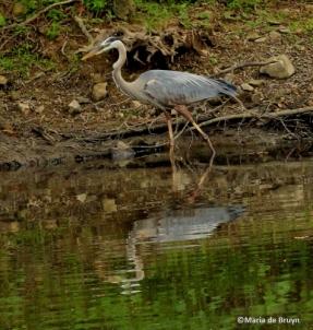 Great blue heron IMG_7482© Maria de Bruynres