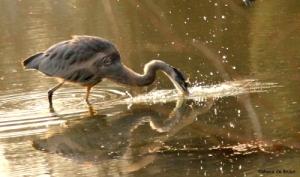 Great blue heron IMG_9158©Maria de Bruynres
