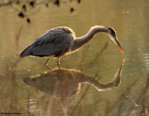 Great blue heron IMG_9216© Maria de Bruyn