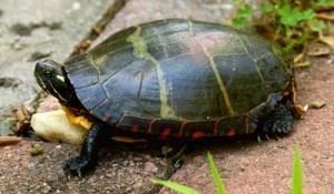 painted turtle IMG_8914