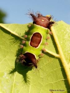 Saddleback caterpillar moth IMG_2647©Maria de Bruynres