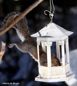 squirrel IMG_1232©Maria de Bruynres2