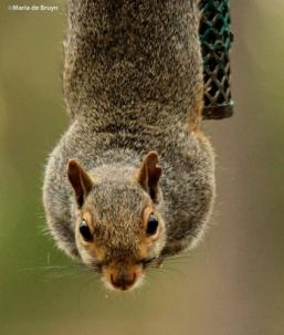 squirrel IMG_2473©Maria de Bruynres2