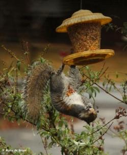 squirrel IMG_3618 ©Maria de Bruynres2