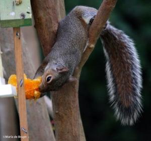Squirrel IMG_8418©Maria de Bruynres2