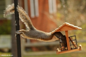 Squirrel IMG_8869©Maria de Bruynres2