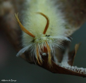 Sycamore tussock moth IMG_0144©Maria de Bruyn