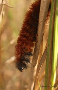 Virginia tiger moth caterpillar IMG_0917©Maria de Bruyn