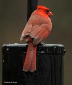 Cardinal IMG_6227©Maria de Bruyn res