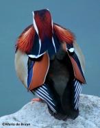 Mandarin duck IMG_1605©Maria de Bruyn res