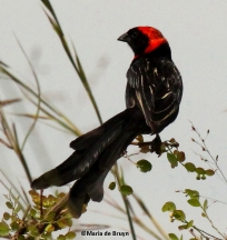 Red-collared widowbird 390©Maria de Bruynres