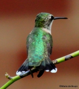 Ruby-throated hummingbird IMG_4221©Maria de Bruynres