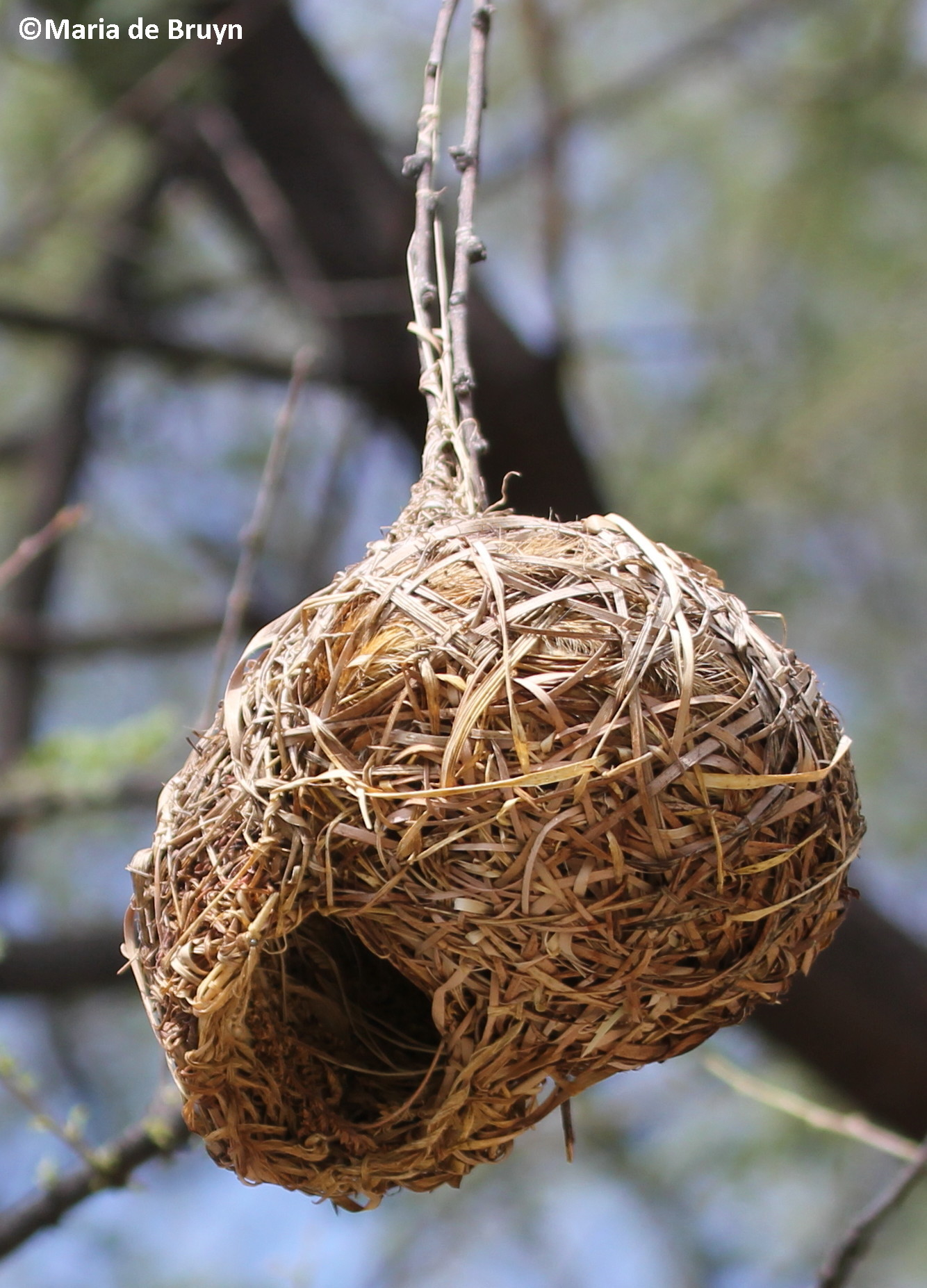 Weaver bird nest pictures - photo#11