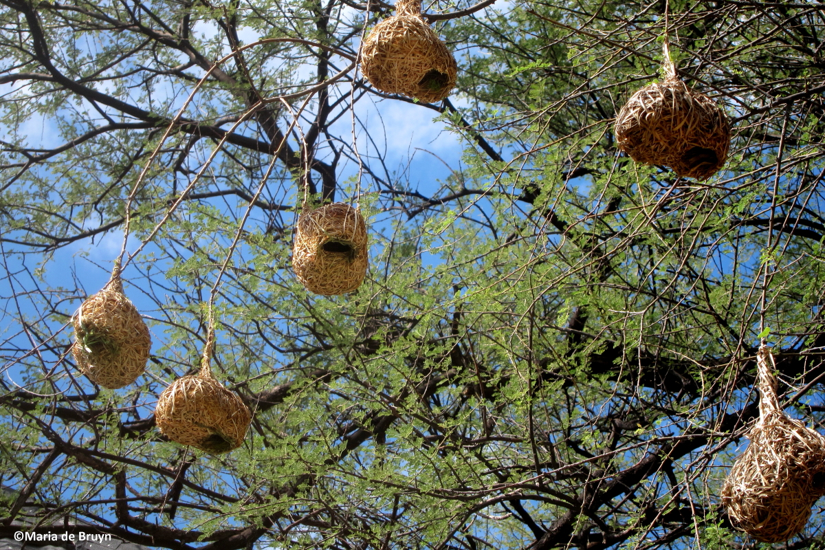 Weaver bird nest pictures - photo#7