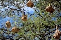 weaver bird nests IMG_6552©Maria de Bruynres