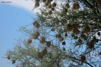 Weaver bird nests IMG_6570©Maria de Bruynres