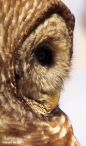 Barred owl eye feathers IMG_9802©Maria de Bruynres