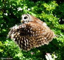 Barred owl IMG_9117©Maria de Bruyn res