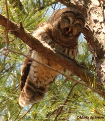 Barred owl IMG_9617© Maria de Bruyn res