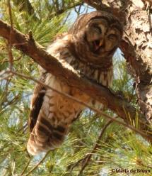 Barred owl IMG_9617© Maria de Bruyn res