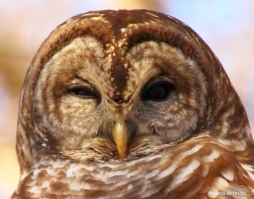 Barred owl IMG_9832©Maria de Bruyn signed res