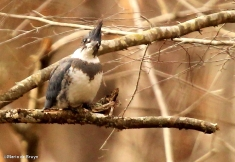 Belted kingfisher IMG_5388©Maria de Bruynres