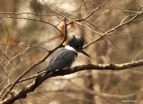 Belted kingfisher IMG_5442©Maria de Bruynres