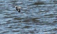 Belted kingfisher IMG_9690D