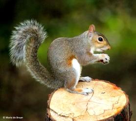 eastern gray squirrel IMG_1449©Maria de Bruyn res
