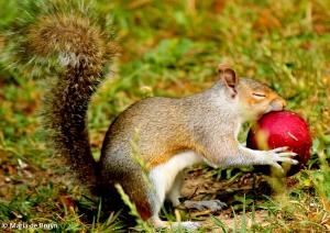 Eastern gray squirrel IMG_3723©Maria de Bruyn 2013 (2)