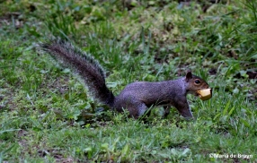 Eastern gray squirrel IMG_5039©Maria de Bruyn