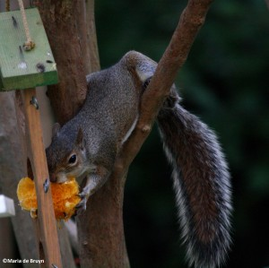 eastern gray squirrel IMG_8424©Maria de Bruyn