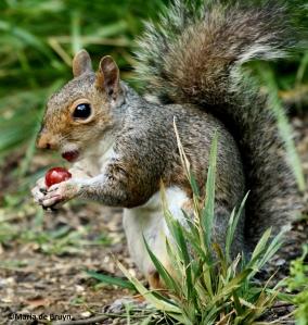Eastern gray squirrel IMG_8965©Maria de Bruyn