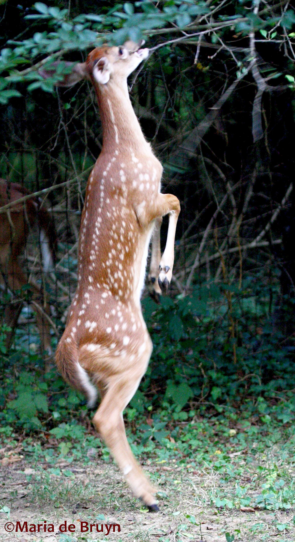 Deer lick tree fungus