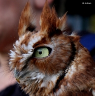 Screech owl IMG_3069©Maria de Bruyn res