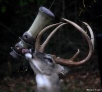 white-tailed deer MdB 3 buck