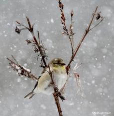 American goldfinch IMG_1955©Maria de Bruyn