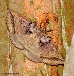 Black bit moth IMG_4867©Maria de Bruyn2